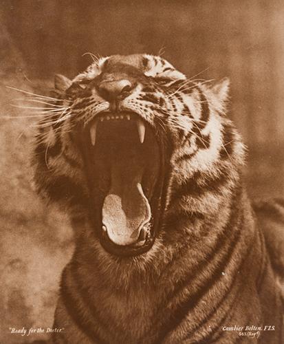 11_gambier-bolton_portait-eines-tigers
