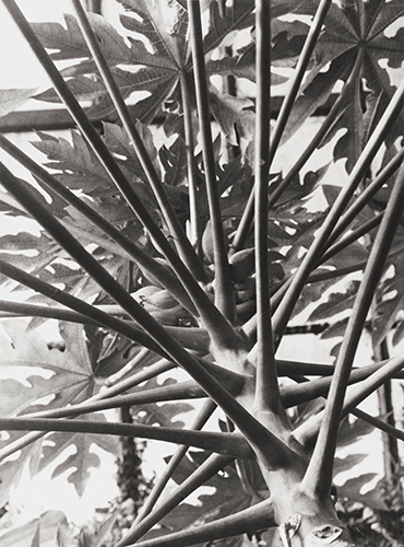 Abb. 05_Albert Renger-Patzsch_Brasilianischer Melonenbaum