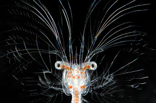 HZ21_AUS_Tiefseewesen_Sergestes larva_©Solvin_Zankl