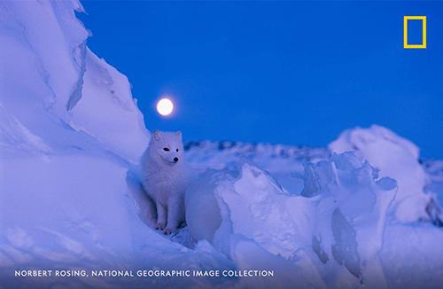 Norbert artic fox