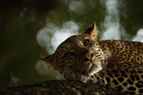 Träumender Leopard © Skye Meaker - Young Wildlife Photographer of the Year